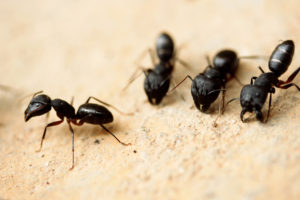 Suspect Carpenter Ants? Get your WDI Inspection