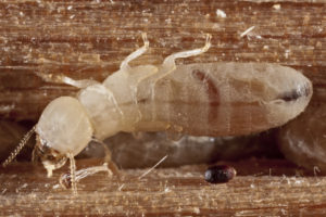 Termites Crumbling Your Home? Get Your WDI Home Inspection